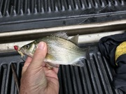 Jig Spin White Perch