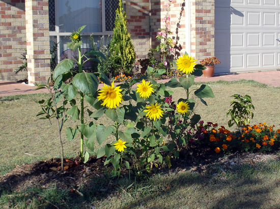 Sunflowers in the front garden