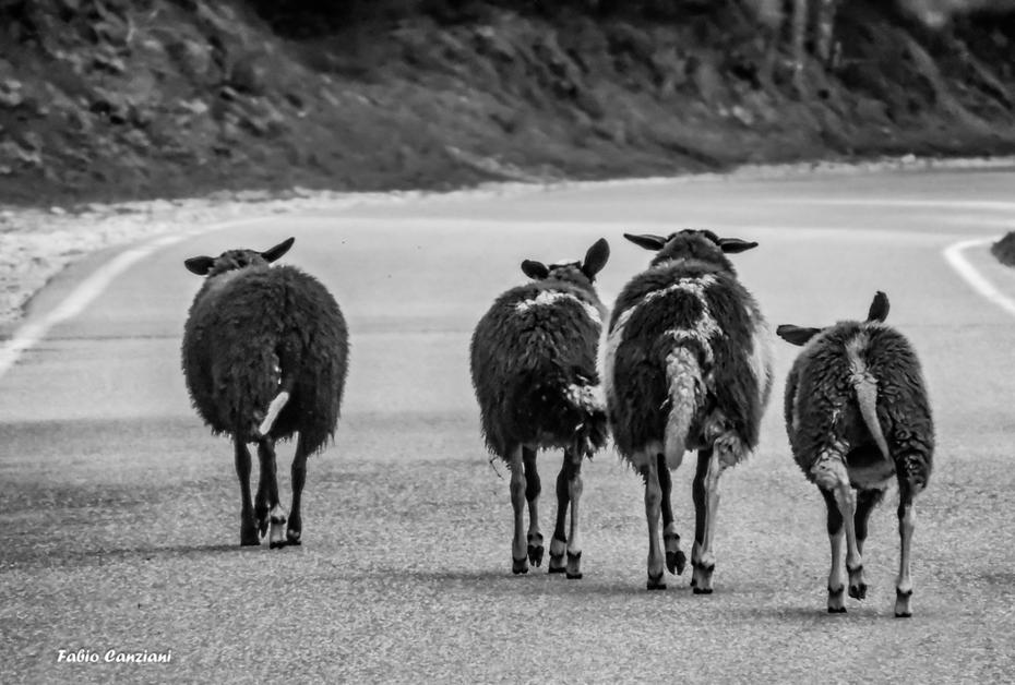 I 4 della pecora selvaggia