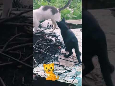 Funny video of two cats in kolkata / pratanu banerjee