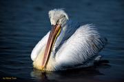 Pelican's portrait
