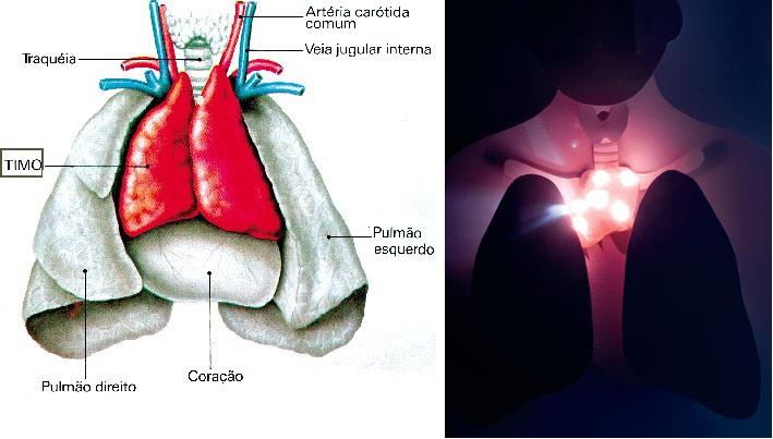 Resultado de imagem para a glândula timo