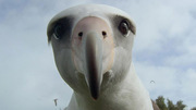 """Albatross"" Filming Screening"