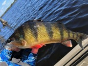 A Few Decent Yellow Perch....9/6/2020