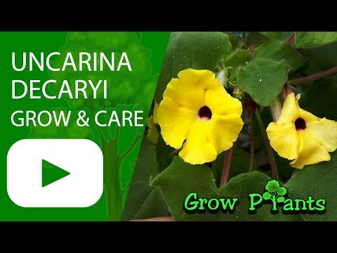 Uncarina decaryi - grow & care (Uncarina plant)