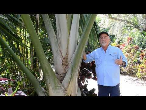 Rare Palm Tree! - Tahina Spectabilis