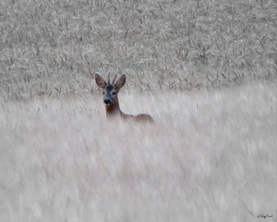 Brocard dans la brume matinale
