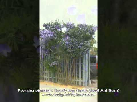 Psoralea pinnata - Scurfy Pea Shrub (Kool Aid Bush)