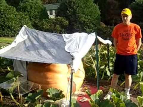 Big Pumpkin grown in Sharon