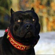 Black Pit Bull