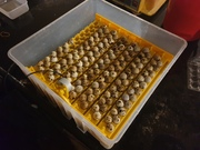 Latest batch of quail eggs set.