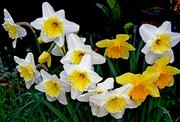 FlowerNarcisi