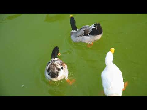 Enjoy Duck Feeding at TheRurbanVillage - Picnic Spots Near Delhi NCR