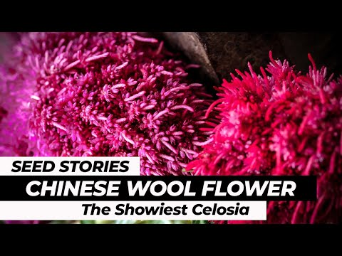 SEED STORIES | Chinese Wool Flower: The Showiest Celosia!