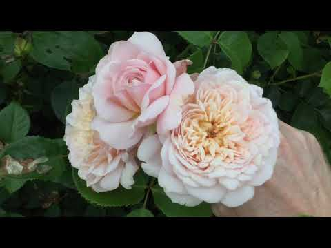 Emily Bronte Rose Review | David Austin Roses
