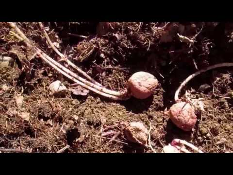 Planting your sprouted potatoes. Forgotten potatoes left in cabinet for too long