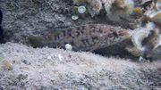 Μαυροχειλού (Labrus merula)