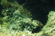 Γαϊτανούρι (Thalassoma pavo) θηλυκό...