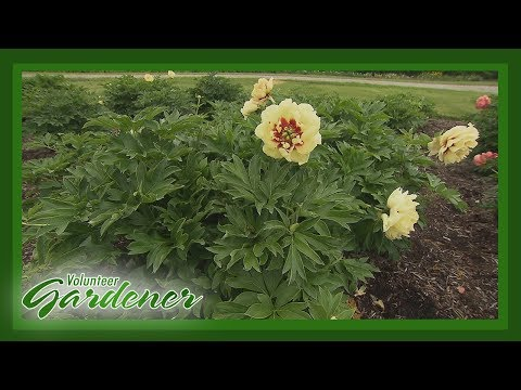 Intersectional Peonies (Itoh hybrids)| Volunteer Gardener