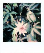 Passiflora Cerulea