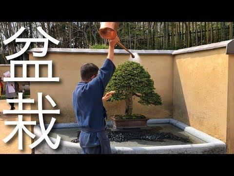 The 300 Year-Old Bonsai - The Secret of Longevity (Japan Vlog #120)