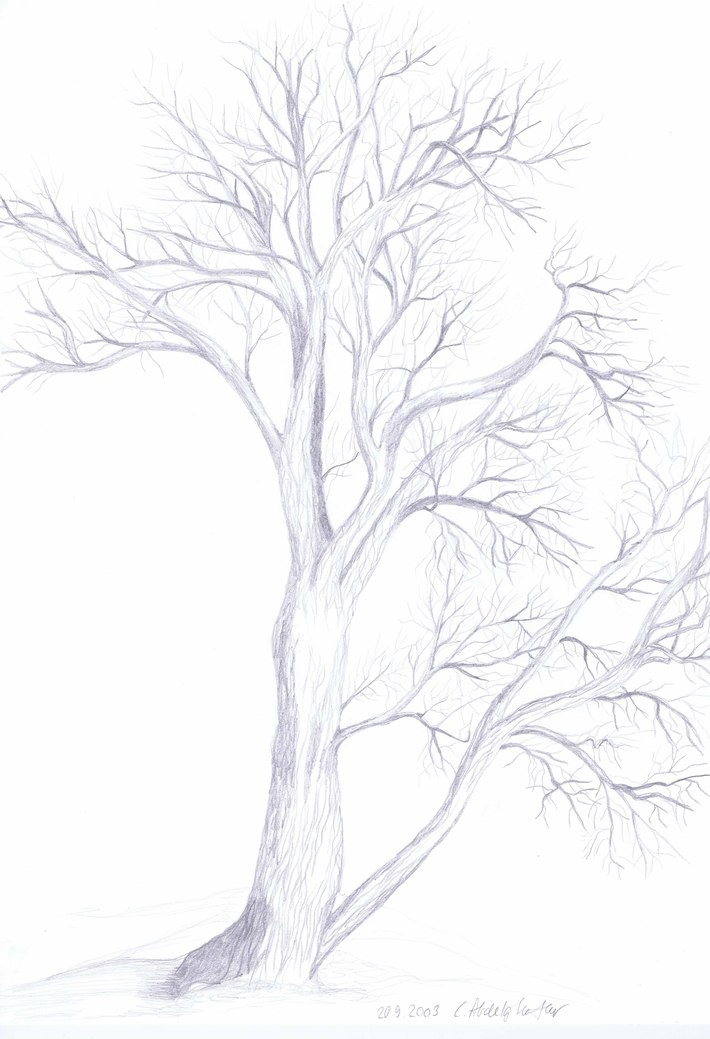 Study of a willow tree