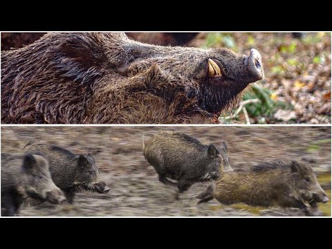 CARBON FEVER | best wild boar driven hunt | Drückjagd
