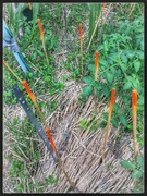 Marking the spot with fluro bamboo stakes