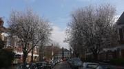 Bowes Park Blossom