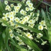 primroses in the front garden