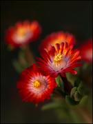 Piccoli fiori rossi