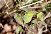 Callophrys rubi...