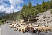 strada sbarrata....con pecore!