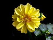 Dalia gialla