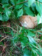 Sleeping Lion In My Garden 'Kiro'  069