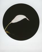 Spathiphyllum_Studio di un fiore bianco