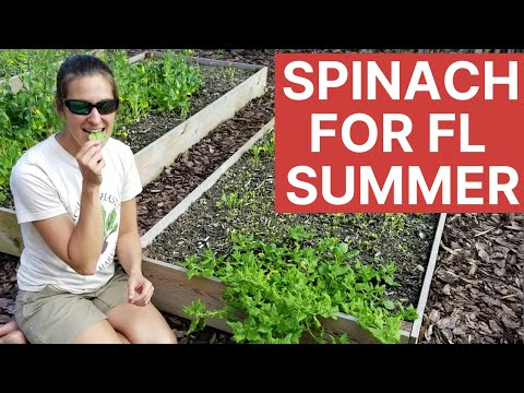 Growing Spinach for Florida Gardening: Heat Tolerant New Zealand Spinach