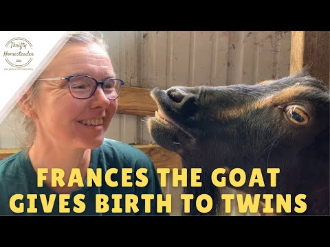 Frances the Goat Gives Birth to Twins