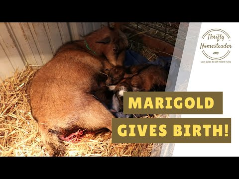 Marigold the Goat Gives Birth to Twins