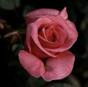 Rosae