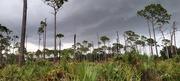 Pine rockland at Trinity Preserve