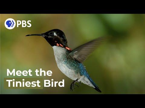 Meet The Smallest Bird On Earth