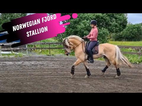 Cutest Dressage Stallion EVER!  Watch This AMAZING Norwegian Fjord Dressage Stallion!