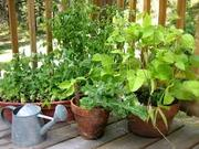 GROWING VEGGIES IN CONTAINERS