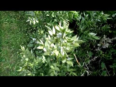 Butcher's Broom or Knee Holly (Ruscus aculeatus)