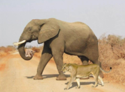 Elephant and Baby Lion