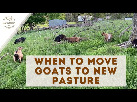 When to Move Goats to New Pasture
