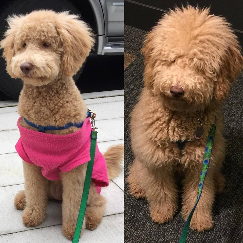 Fed Up After Three Groomers And Really Bad Haircuts Need Advise