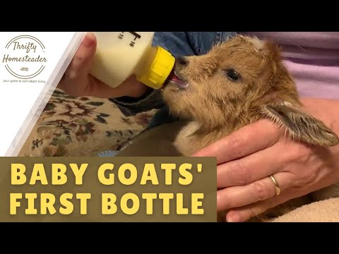Baby Goats' First Bottle