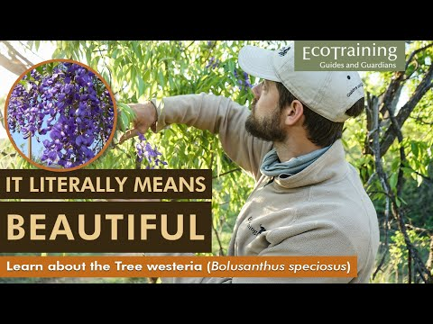 Flora Fridays: Tree Wisteria | Bolusanthus speciosus